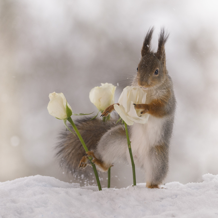 red squirrel is holding a white rose in the snow