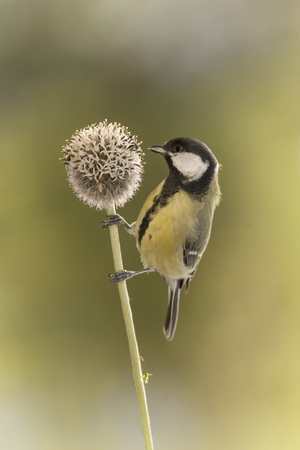 great tit is holding on to a Thistle flower branch