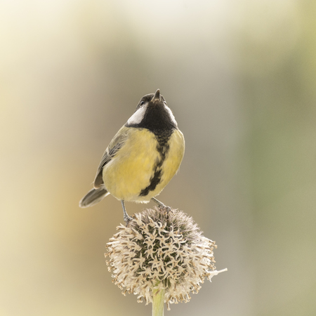 great tit is standing on an Thistle flower