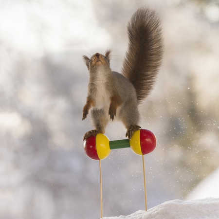 red squirrel is balancing on two round balls