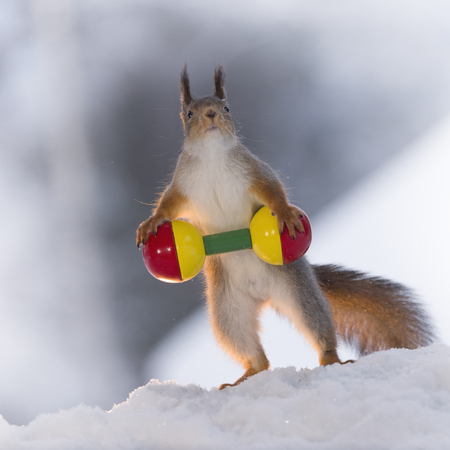 red squirrel in the snow is weightlifting  Stock Photo