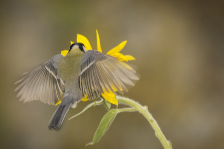 great tit is flying towards an sunflower