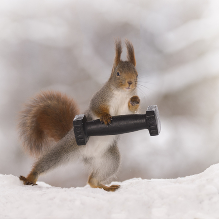 red squirrel standing in the snow is weightlifting Stock Photo