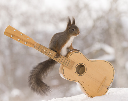 red squirrel is sitting on an guitar  Stock Photo