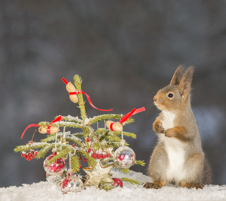 red squirrel standing with an christmas tree on snow