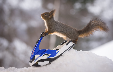 Red squirrel is balancing on  a water scooter