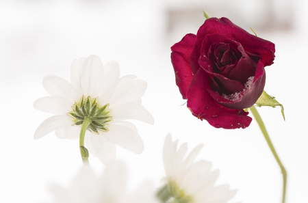 red rose and an white flower with snow