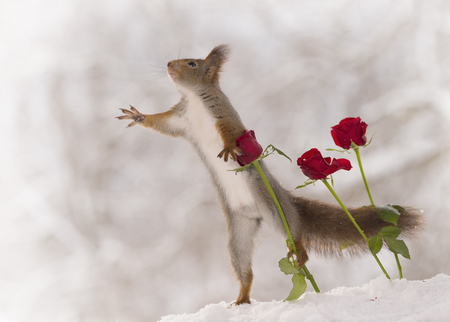 red squirrel is reaching and holding a red rose