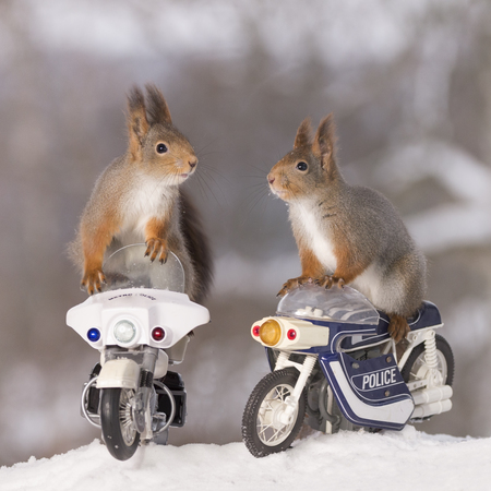 red squirrels are standing on police motor cycles