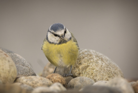 blue tit is standing on pebbles