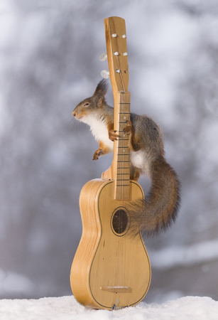 red squirrel is touching the strings of an guitar