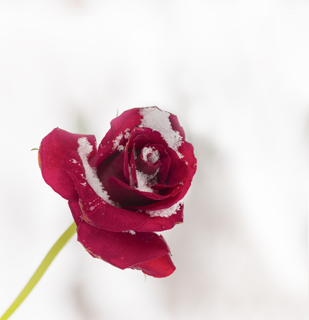 red rose  with snow on it