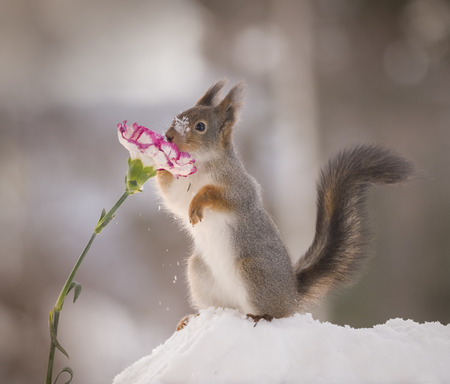 red squirrel is smelling a flower in the snow