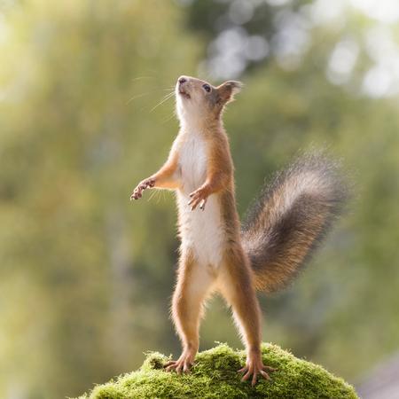 red squirrel is standing upwards reaching Standard-Bild
