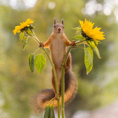 red squirrel is looking from between sunflowers  Standard-Bild