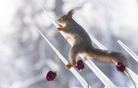 red squirrel is climbing in icicles with roses