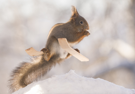red squirrel is standing on skis in sun