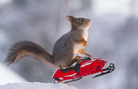 Red squirrel is riding on a snowmobile