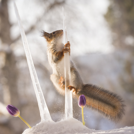 red squirrel is climbing in icicles