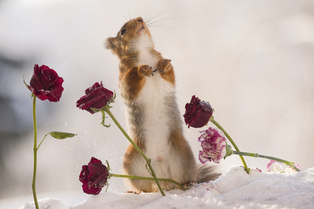 red squirrel is looking up between roses in the snow