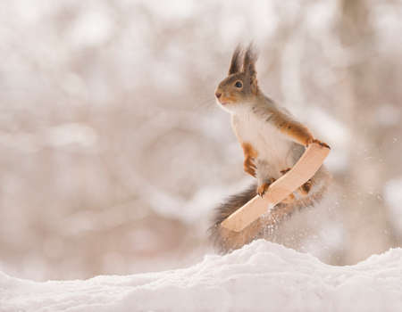 red squirrel jumps on a ski in the snow