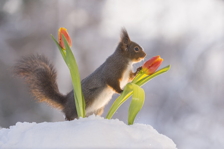 red squirrel is leaning against a tulip in the snow
