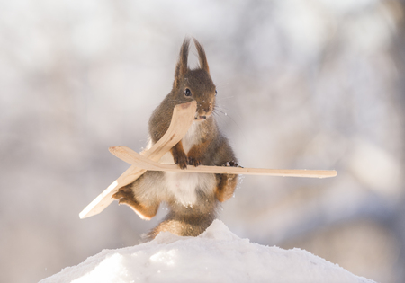 red squirrel is in a split on skis