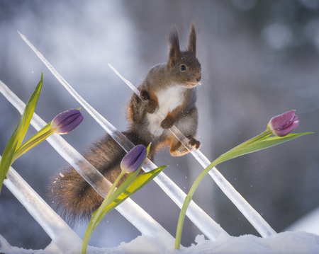 red squirrel in icicles with tulips in the snow