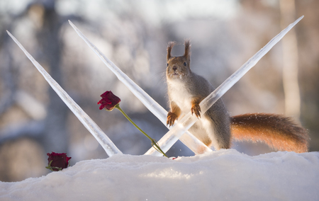 red squirrel with roses in the snow and holding icicles