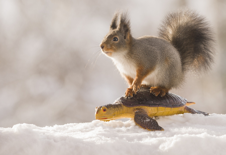 red squirrels stands on a turtle in the snow   Standard-Bild