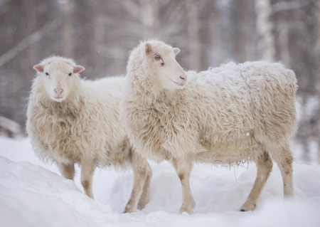 white sheep are standing in the snow