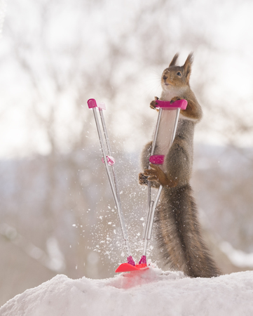 red squirrel is standing on a crutch and snowboard Standard-Bild