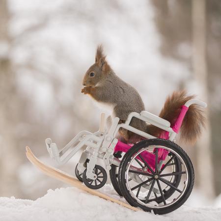 red squirrel is sitting in wheelchair  on skis  Standard-Bild
