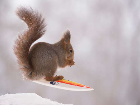 red squirrel is standing with a snow surfboard