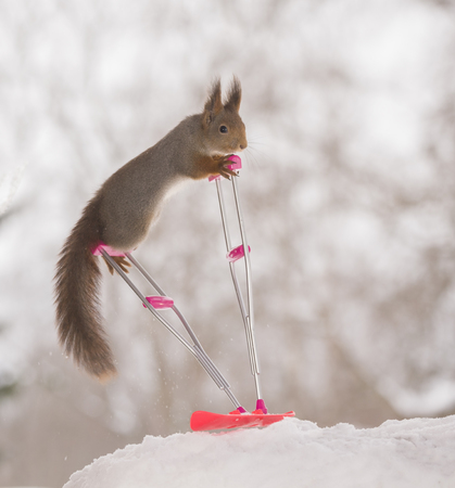 red squirrel is standing on a crutch and a snowboard