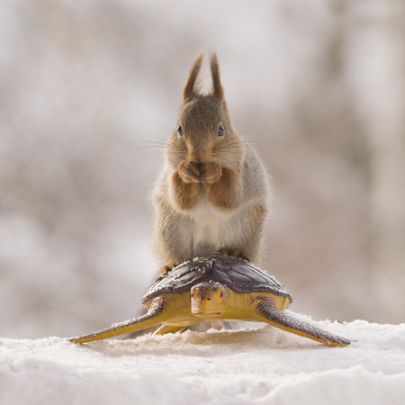 red squirrels on an turtle in the snow