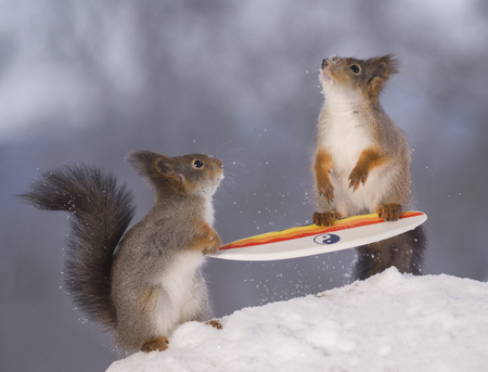 red squirrels are standing with a surfboard in snow