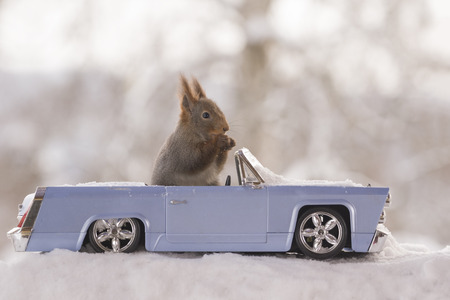 red squirrels in snow and an car Standard-Bild