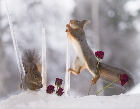 red squirrels are climbing in icicles with roses Standard-Bild