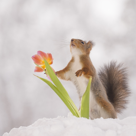 red squirrel is touching an tulip in the snow  Standard-Bild