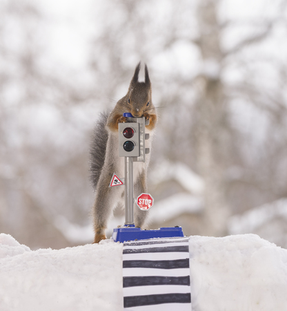 red squirrels in the snow  with an traffic light and crosswalk Standard-Bild