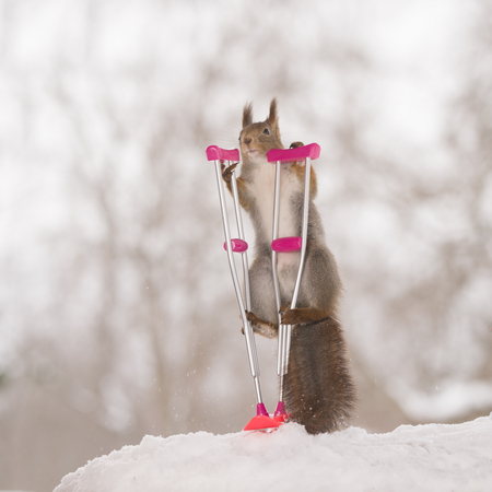 red squirrel is standing on an crutch and snowboard