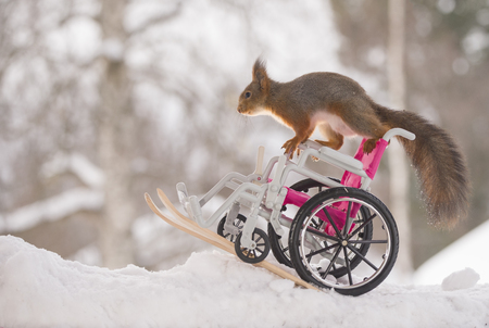 red squirrel is moving on an wheelchair  on skis