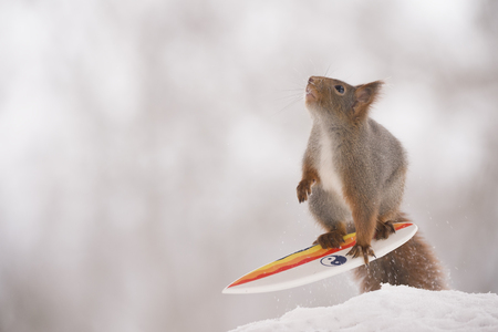 red squirrel is standing with a surfboard in snow