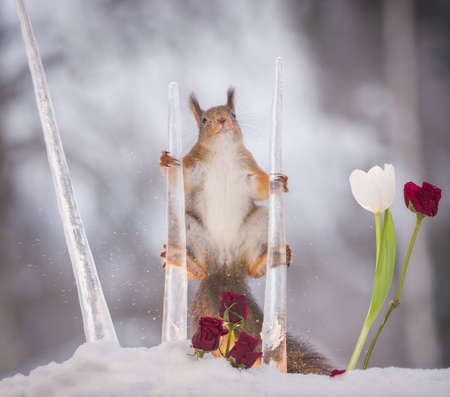 red squirrels is in a split between icicles