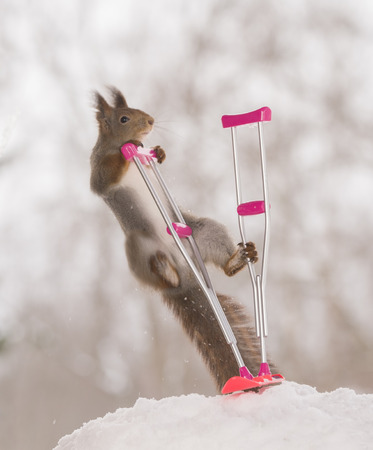 red squirrel is climbing in an crutch and snowboard