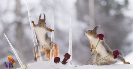 red squirrels are playing with icicles with roses