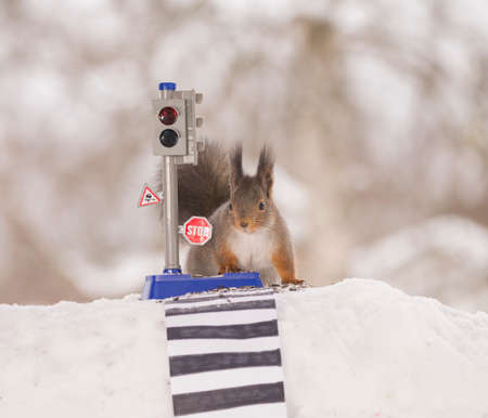 red squirrel in the snow  with an traffic light and crosswalk