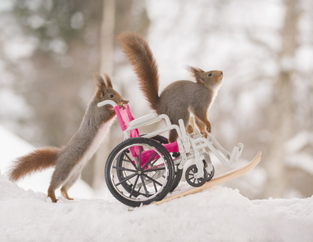 red squirrels behind wheelchair with skis