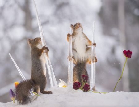 red squirrels are holding icicles with roses